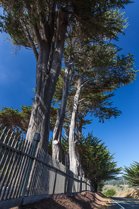 Line of Monterey Cypress Trees along Cuffey's Cove Cemetery