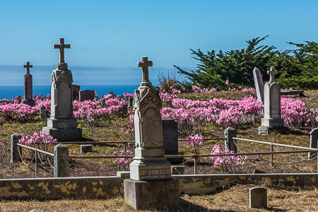 Surprise Lilies Blooming in Cuffey's Cove Catholic Cemetery