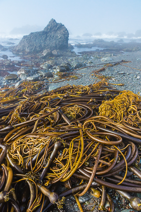 Bull Kelp Washed up on Beach of MacKerricher State Park in Calif