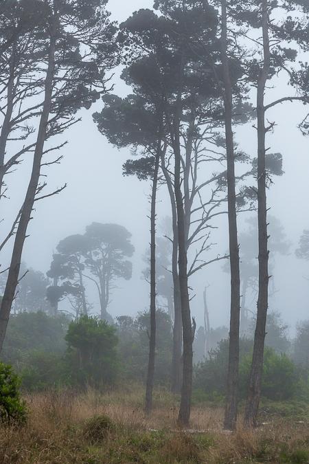 Conifers in Fog in Mackerricher State Park in California