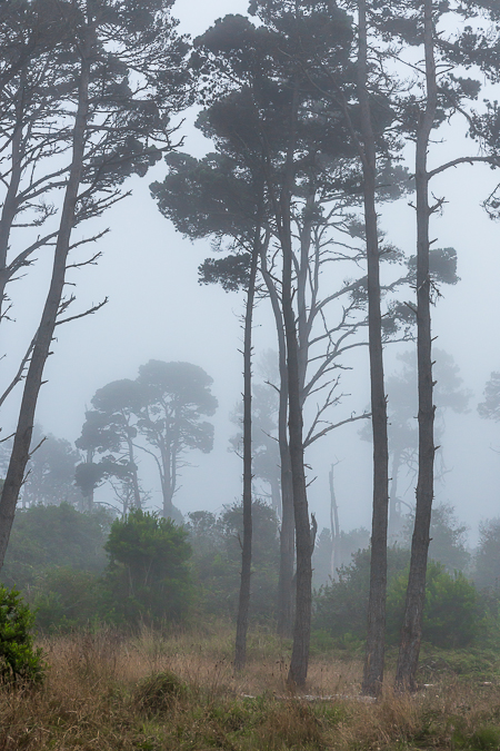 Conifers in Fog in Mackerricher State Park in California