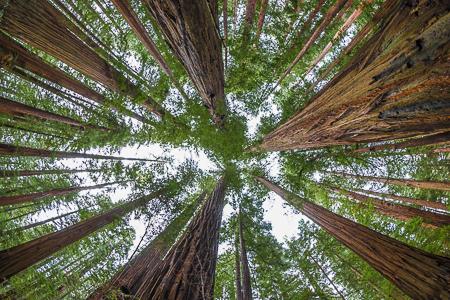 Coast Redwood Forest along Trail in Humboldt Redwoods State Park