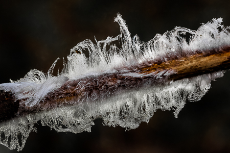 Hair Ice Formed on Dead Red Alder Branch on Olympic Peninsula