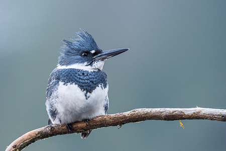 Belted Kingfisher, Megaceryle alcyon, Male