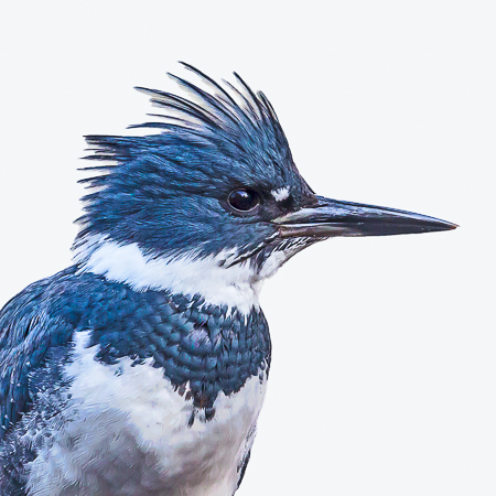 FINAL BELTED KINGFISHER