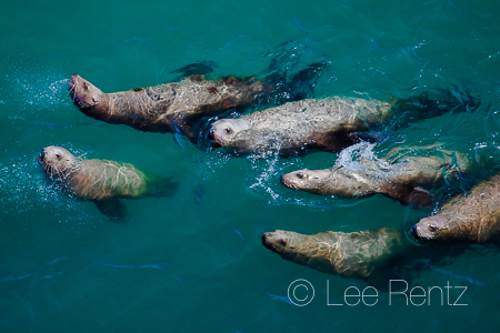 Swimming Steller Sea Lions