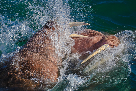 Pacific Walruses sparring in the waters off Round Island