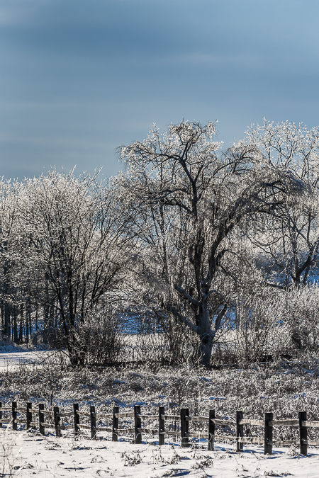 Trees Coated with Ice after a Freezing Rain