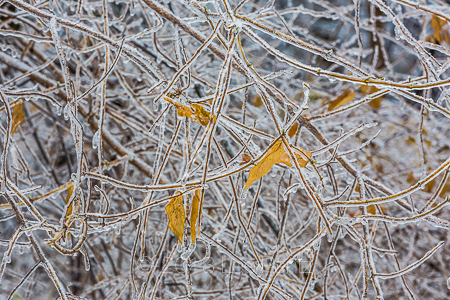 Branches and Old Leaves Coated with Ice from Freezing Rain