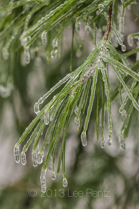 Eastern White Pine Needles Coated with Ice from Freezing Rain