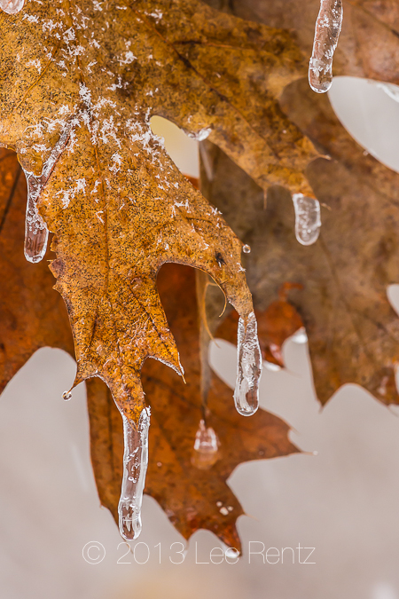 Northern Red Oak Leaves Dripping with Ice from Freezing Rain