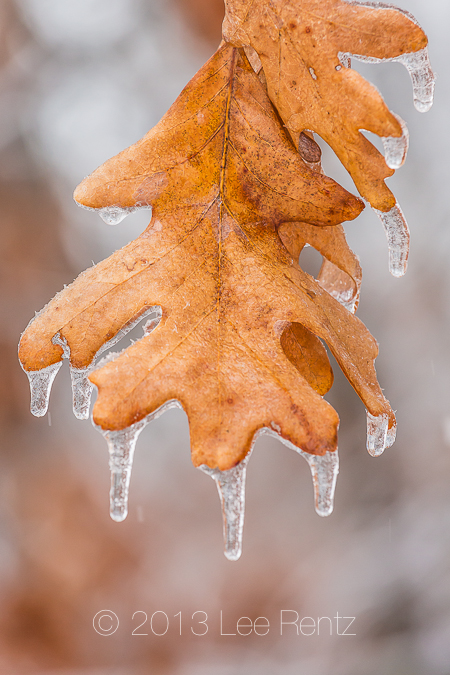 White Oak Leaves Dripping with Ice from a Freezing Rain