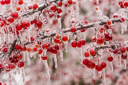 Icy Storm Coating Crabapples in Leila Arboretum