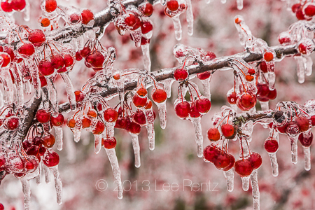 Icy Storm Coating Crabapples in Leila Arboretum