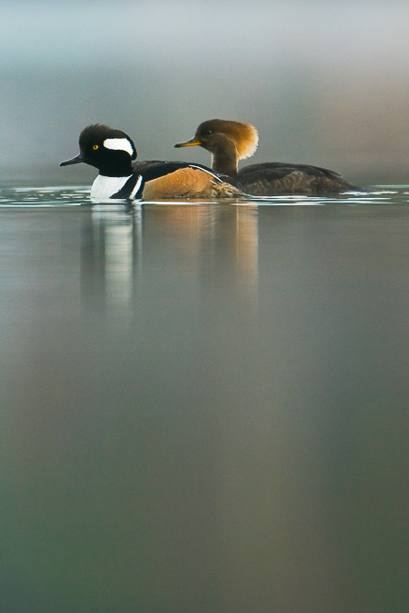 Hooded Merganser pair