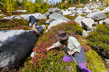 Karen Rentz Picking Huckleberries in The Enchantments in Fall