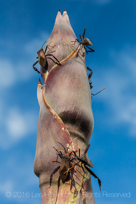 Giant Agave Bugs on Havard Century Plant in Big Bend National Pa