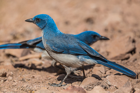 Mexican Jays in Big Bend National Park