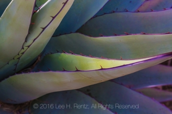 Succulent leaves of Havard Century Plant, Agave havardiana, aka Havard Agave, in the Chisos Mountains of Big Bend National Park, Texas, USA