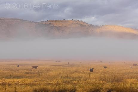 Cattle Grazing on a Ranch near Malheur National Wildlife Refuge