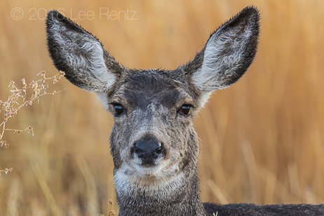 Mule Deer Doe in Malheur National Wildlife Refuge