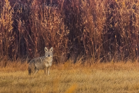 Coyote Hunting in Meadow in Malheur National Wildlife Refuge