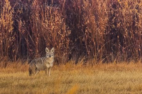 Coyote Hunting in Meadow in Malheur National Wildlife Refuge