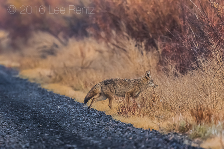 Coyote on Road in Malheur National Wildlife Refuge