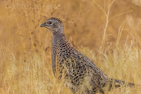 Female Ring-necked Pheasant at Malheur National Wildlife Refuge