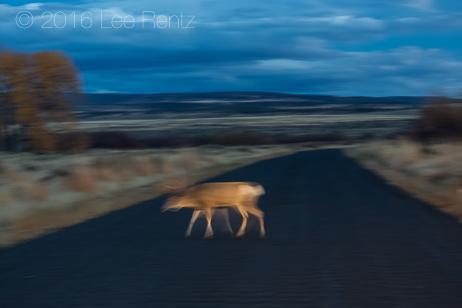 Mule Deer in Car Headlights in Malheur National Wildlife Refuge