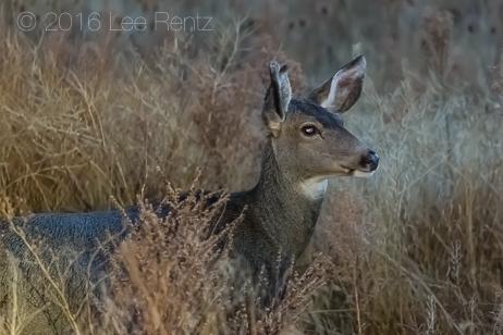 Mule Deer at Deep Dusk Lit by a Headlamp