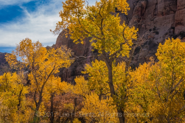 Autumn Fremont Cottonwoods In Indian Creek National Monument
