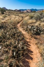 Trail winding through Prickly Pear Cactus within Salt Creek Canyon in The Needles District of Canyonlands National Park, Utah, USA