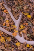 Mule Deer, Odocoileus hemionus, antler dropped under Gambel Oak trees in Salt Creek Canyon in The Needles District of Canyonlands National Park, Utah, USA