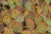 Prickly Pear Cactus, Opuntia sp., thriving in Salt Creek Canyon in The Needles District of Canyonlands National Park, Utah, USA