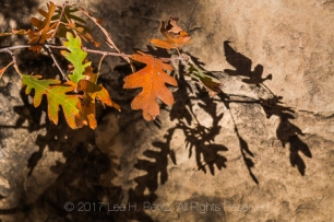 Autumn Gambel Oak, Quercus gambelii, leaves and shadows within Salt Creek Canyon in The Needles District of Canyonlands National Park, Utah, USA