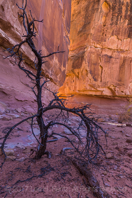 Dead Tree in Canyonlands National Park's Salt Creek Canyon