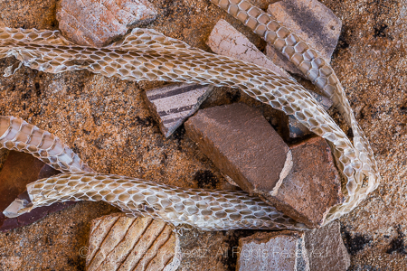 Shedded rattlesnake skin with potsherds left by the Ancestral Puebloan people living at Big Ruin within Salt Creek Canyon in The Needles District of Canyonlands National Park, Utah, USA