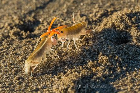 California Beach Flea on Shi Shi Beach in Olympic National Park