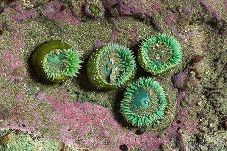 Giant Green Anemone and Pink Rock Crust at Point of Arches in Ol