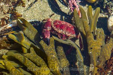 Red Crab at Point of Arches in Olympic National Park
