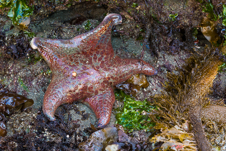 Leather Star in Olympic National Park