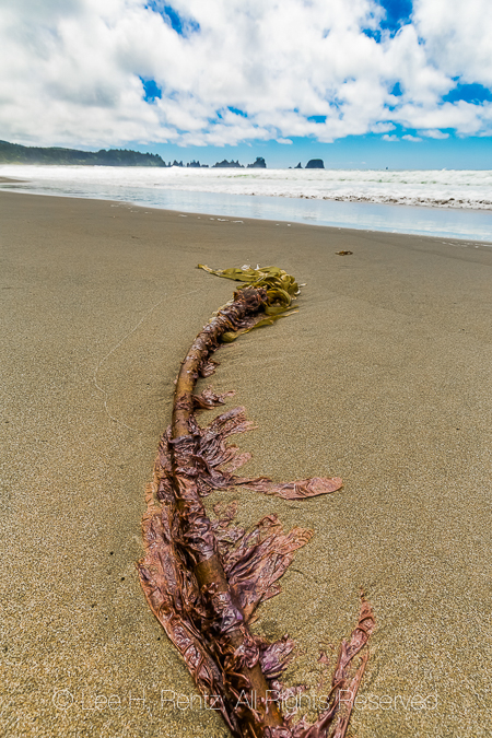 Bull Kelp and Shadows on Shi Shi Beach in Olympic National Park