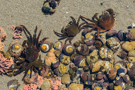 Northern Kelp Crabs at Point of Arches in Olympic National Park