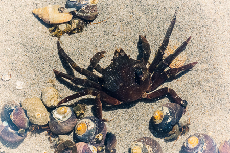 Northern Kelp Crab at Point of Arches in Olympic National Park