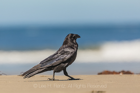 Common Raven on Shi Shi Beach in Olympic National Park