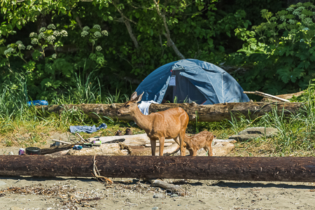 Black-tailed Deer Doe and Fawn in Olympic National Park