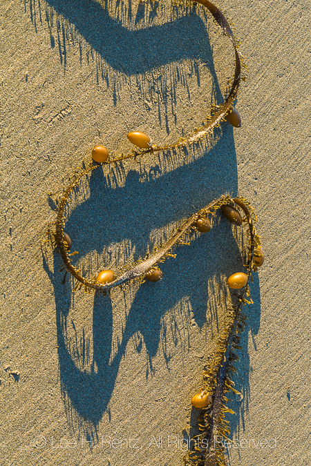 Egregia menziesii Kelp in Olympic National Park