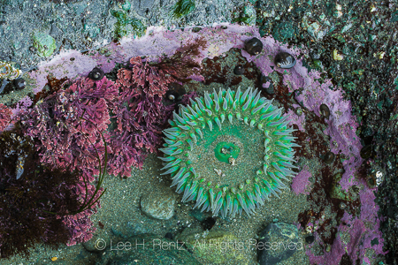 Giant Green Anemone and Encrusting Coral at Point of Arches in O