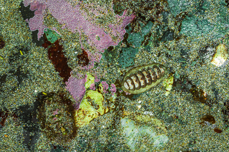 Mossy Chiton and Hind's Mopalia at Point of Arches in Olympic Na